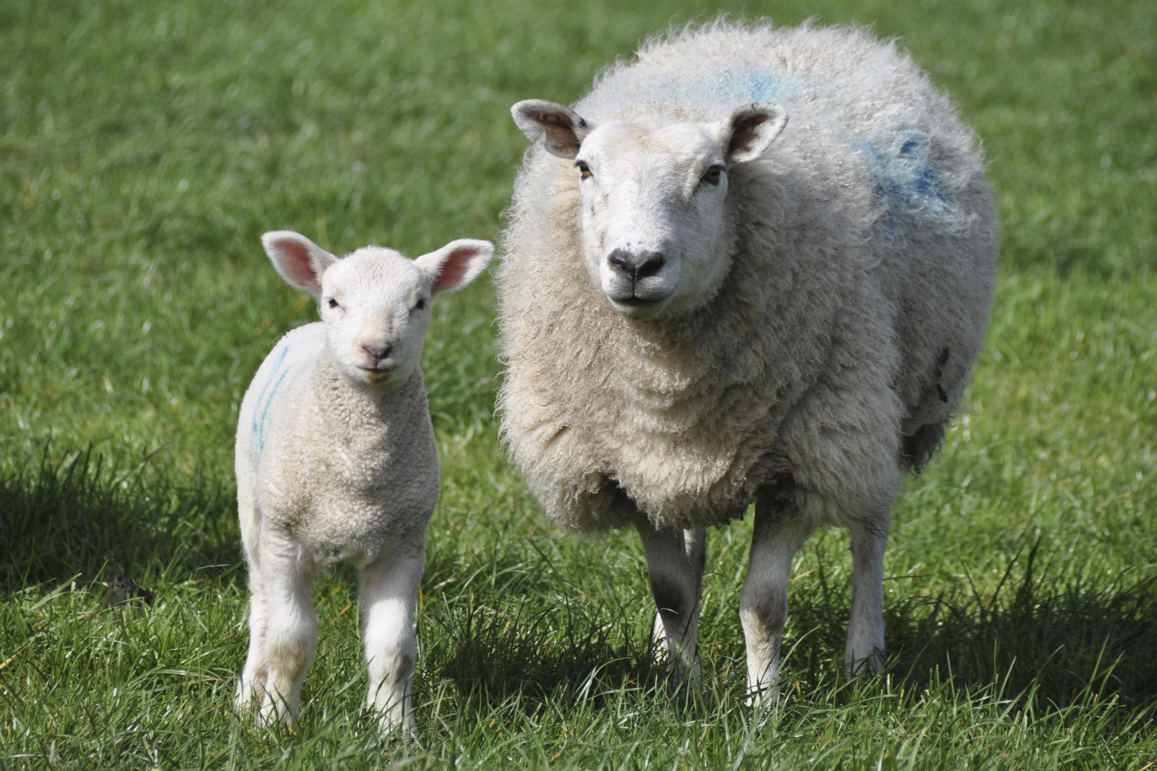 ewe-and-lamb-version-2