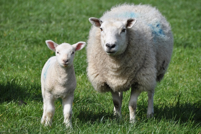 ewe-and-lamb-version-2